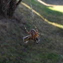Cross Orbweaver and Drone Fly