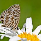 Zebra Blue Butterfly