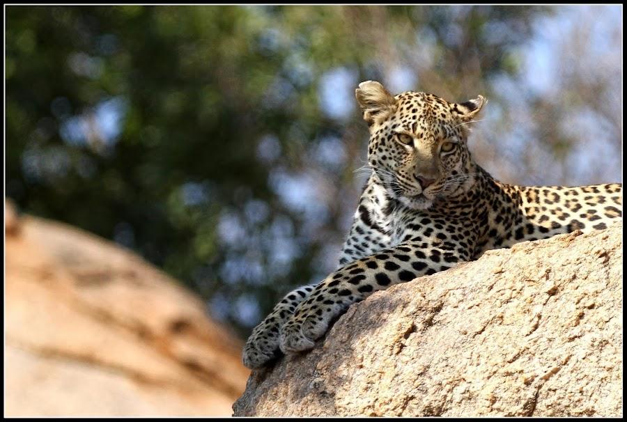 Lazing around by Romano Volker - Animals Lions, Tigers & Big Cats
