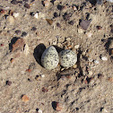 Red-capped Plover Nest