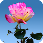 Rose Garden Live Wallpaper icon
