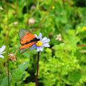 Garden Acraea Butterfly