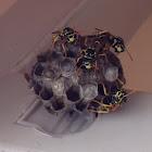 European Paper Wasps