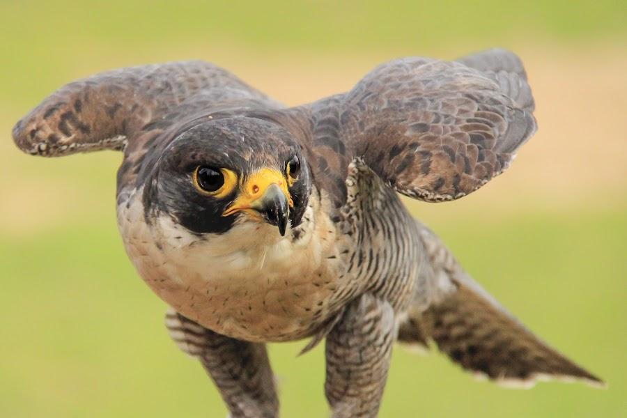 Proud by Davide Biagi - Animals Birds ( animals, nature, birds, portrait, hawk,  )