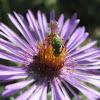 Green Metallic Bee - Halictid bee