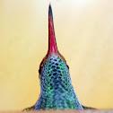 Ruffus-tailed hummingbird