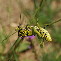 Green Milkweed Locust (Immature)