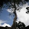 Banyan Tree?