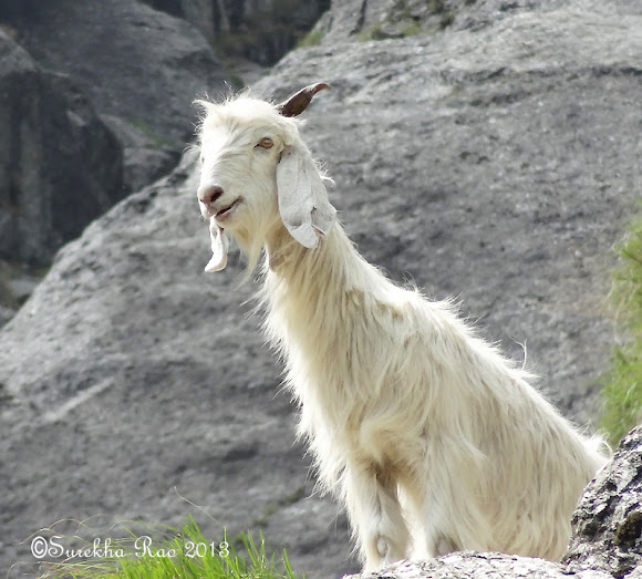 Gaddi Goat | Project Noah