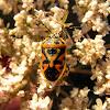Ornate Shieldbug