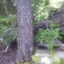 Eastern Fence Swift