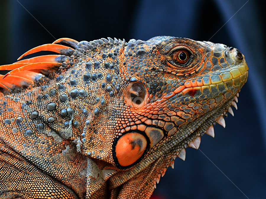 by Sigit Purnomo - Animals Reptiles (  )