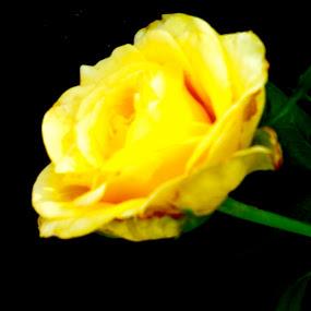 Illusion by Dawnadine Yazzie-Harvey - Flowers Flower Gardens ( rose, life, beauty, yellow, stem, flower )