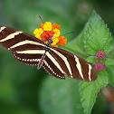 Mariposa zebra, Zebra Longwing Butterfly