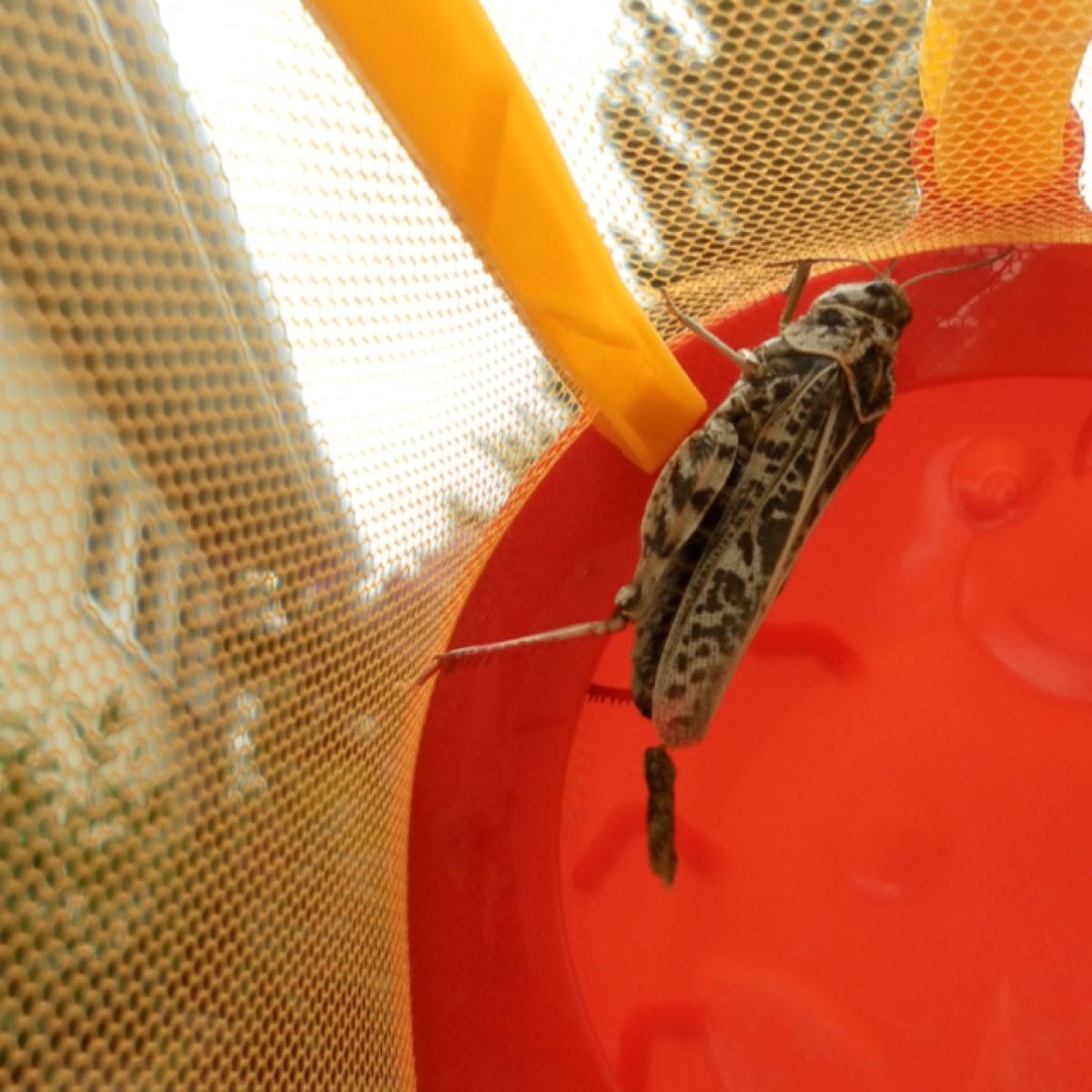Montana Bandwing Grasshopper