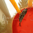 Montana Bandwing Grasshopper