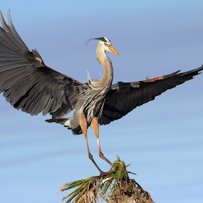 Great Blue Heron Landing by Sandra Blair - Animals Birds ( bird, flight, wading bird, landing, florida, heron, great blue,  )