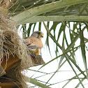 Common Kestrel (m)