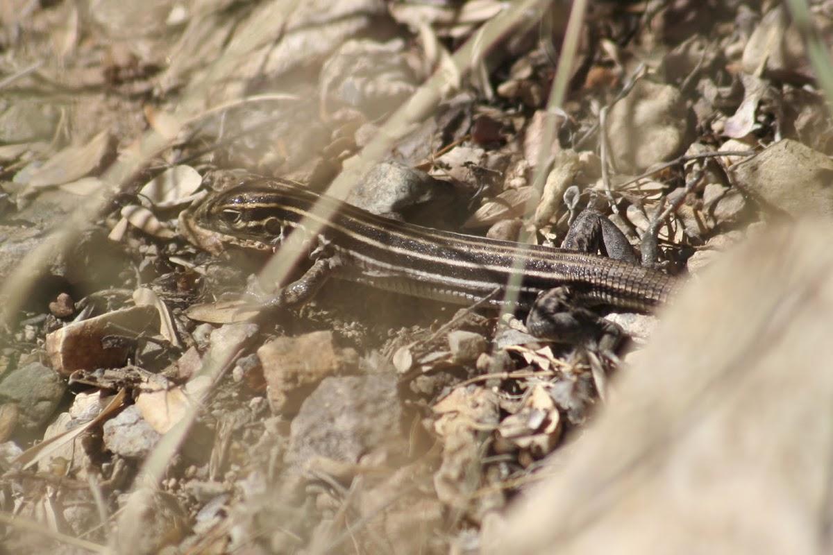 Desert Grassland Whiptail
