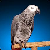 Grey Parrot Live Wallpaper