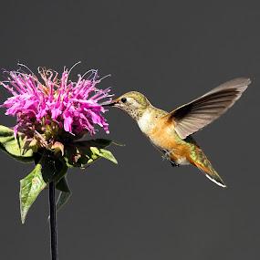 Rufous and Bee Balm by Lynne McClure - Animals Birds ( flight, nature, nectar, wildlife, rufous hummingbird, flowers, , bird, fly )