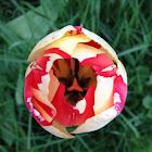 Tulip: Rems Sensation