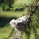 Nest of the Rufous Hummingbird