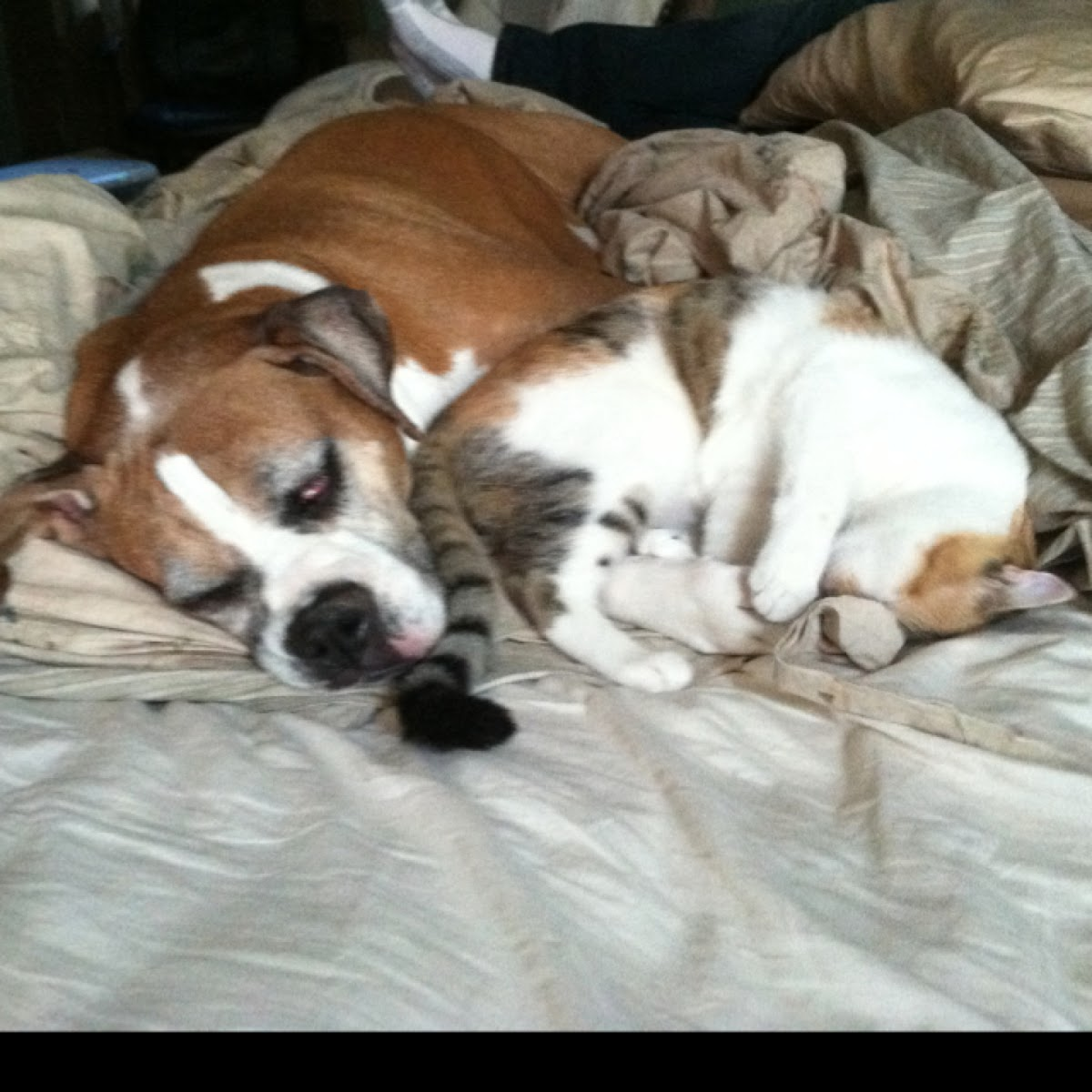 Boxer Dog  LOVES Cat!