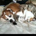Boxer Dog  LOVES Cat!
