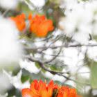 African Tulip Tree (火焰樹)