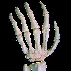 Rays Anatomy Skeletal System icon