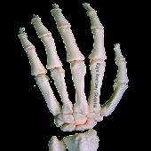 Rays Anatomy Skeletal System