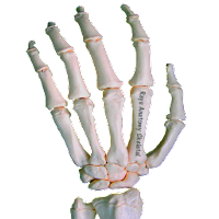 Rays Anatomy Skeletal System 1.0