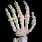 Rays Anatomy Skeletal System 1.0 Apk