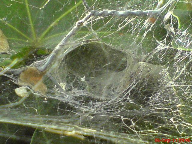 Araneomorph funnel-web spider - WEB