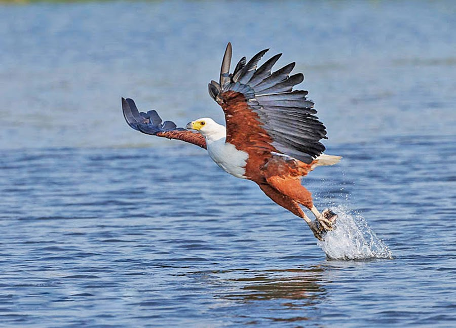 Fish Eagle by Jan Fourie - Animals Birds