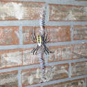 Black and yellow garden spider (female)