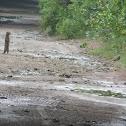common grey mongoose