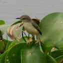 Blyth's Reed Warbler?