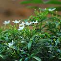 The East Indian rosebay