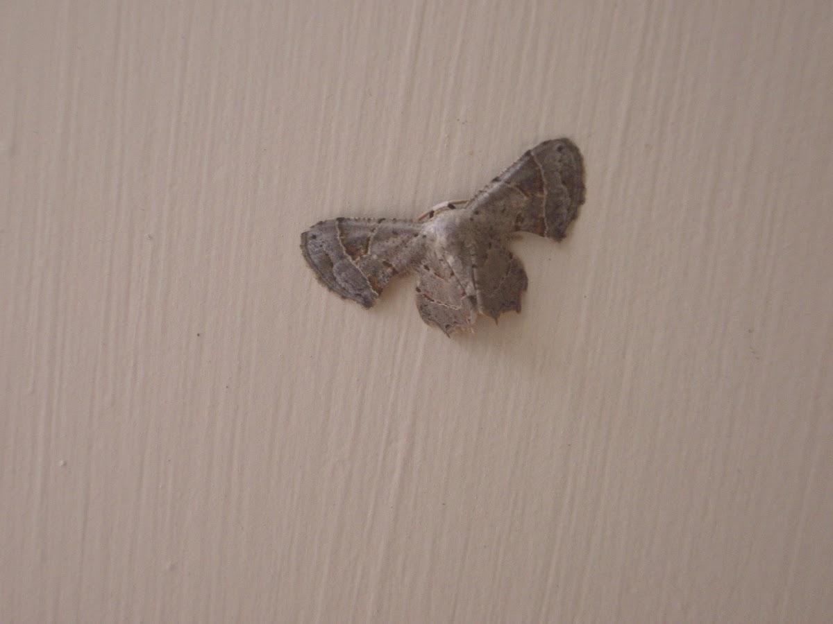 Scoopwing Moth