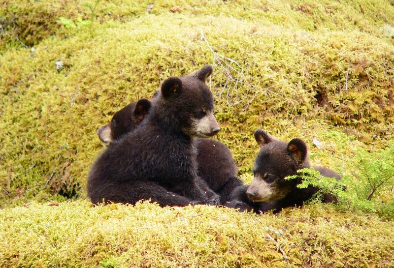 Black bear cubs in Glacier Bay National Park.