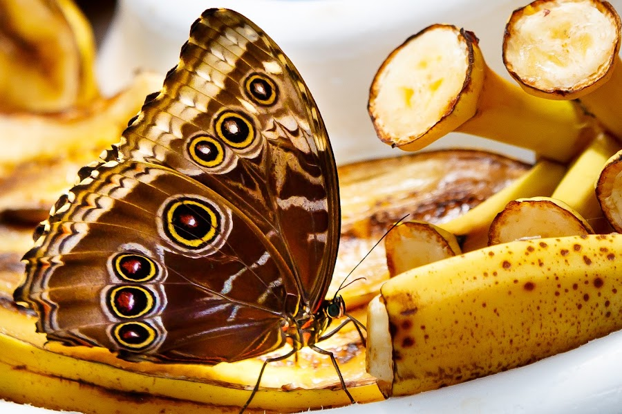 Butterfly  by Olga Gerik - Animals Insects & Spiders ( butterfly bananas,  )