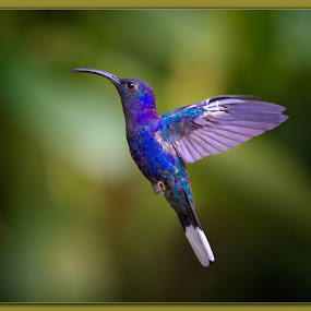 Colors in flight  by Liza Chevres - Animals Birds ( violet sabrewing hummingbird,  )