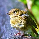 Robin-juvenile