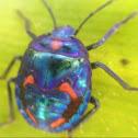 Cotton harlequin bug - nymph