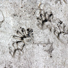 Raccoon (Footprints)