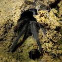 Cave tarantula