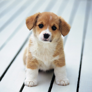 Cute little puppies wallpapers android apps on google play cute little puppies wallpapers voltagebd Image collections