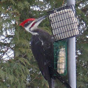 Pileated Wood-Pecker (male)